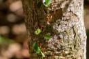 Blattschneider-Ameisen