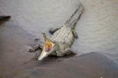 Müdes Krokodil